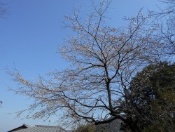 R3.3.11桜-1