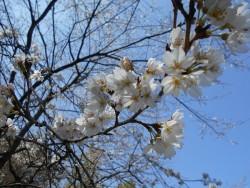 R3.3.11-2桜